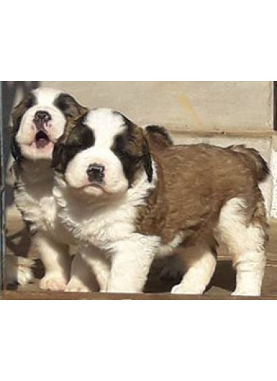 Saint Bernard Male