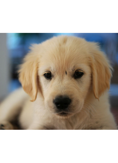 Golder Retriever Male Puppy