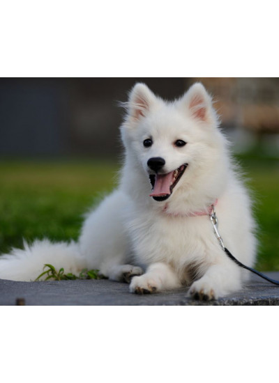 Japanese Spitz Male Puppy
