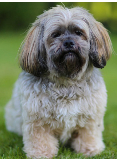 Lhasa Apso Puppy Male