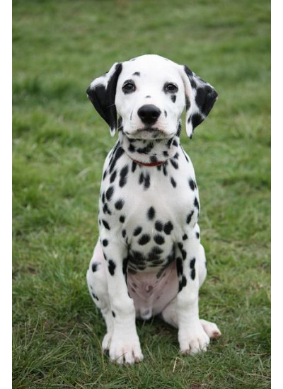 Dalmation Puppy Male
